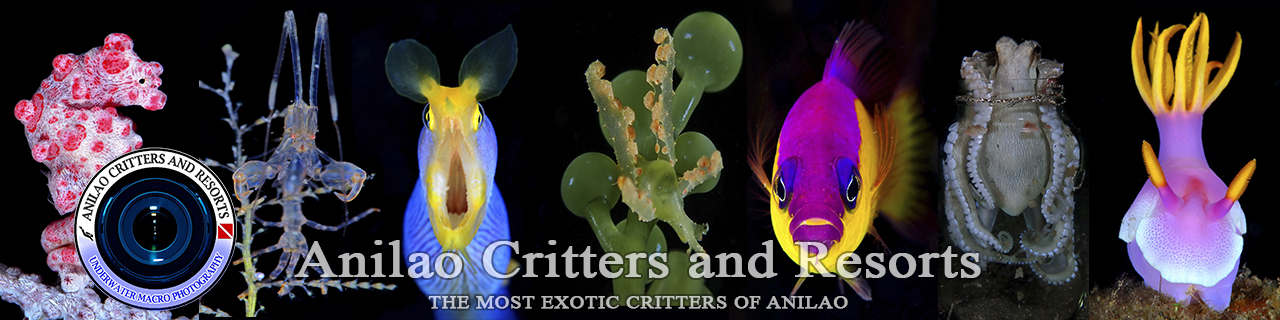 Anilao critters and dive resort, latest critters and dive resort in Anilao