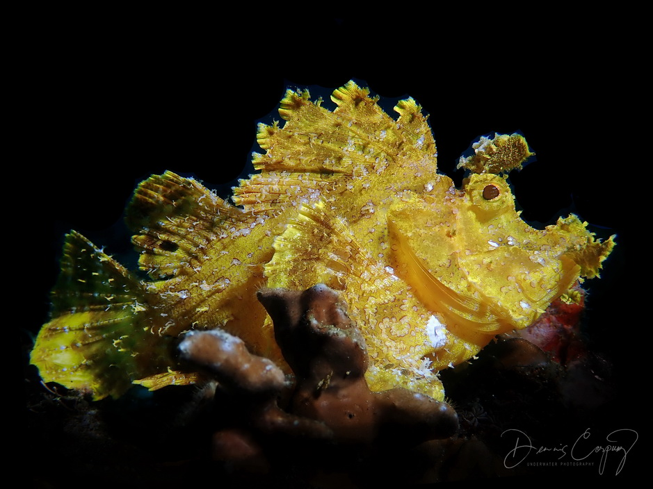 Anilao underwater macro photography using Olympus Tought TG5 and Tough TG4