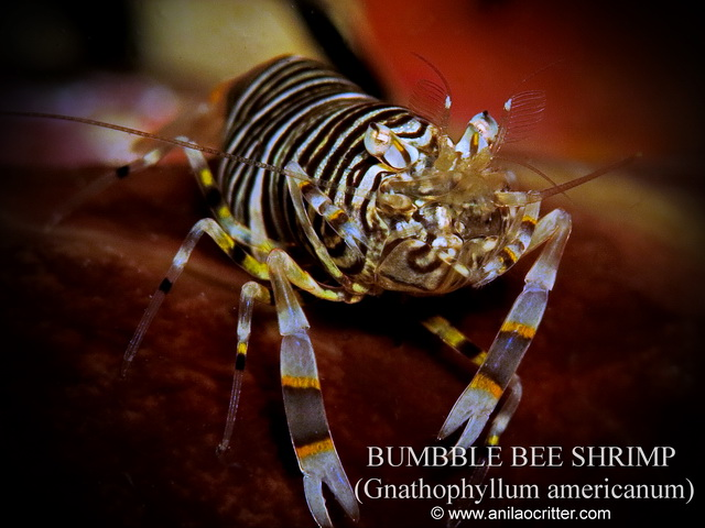 Anilao-diving-Anilao-most-wanted-critters-bumble-bee-shrimp
