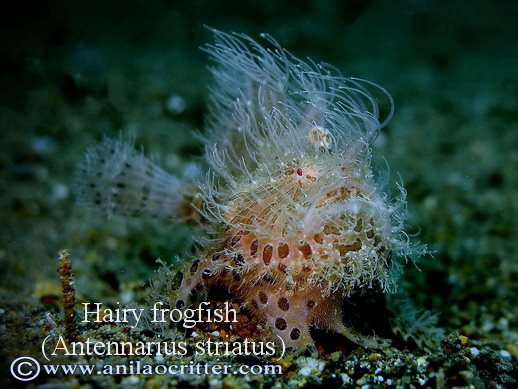 Anilao-diving-Anilao-most-wanted-critters-hairy-frogfish
